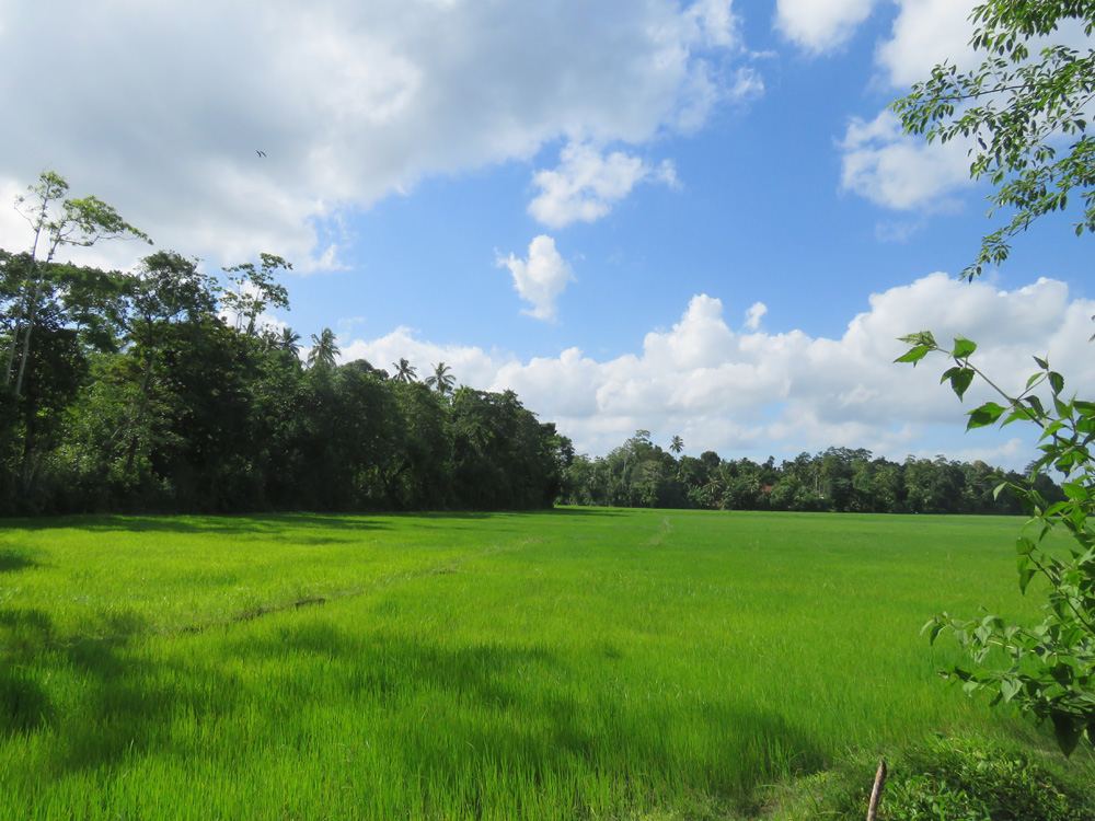 Tranquil with paddy field views