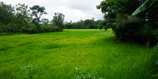 Paddy Island with rubber plantation