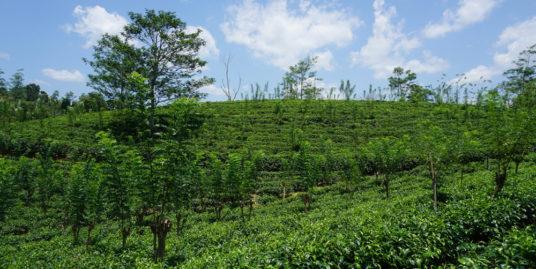 Tea plantation land