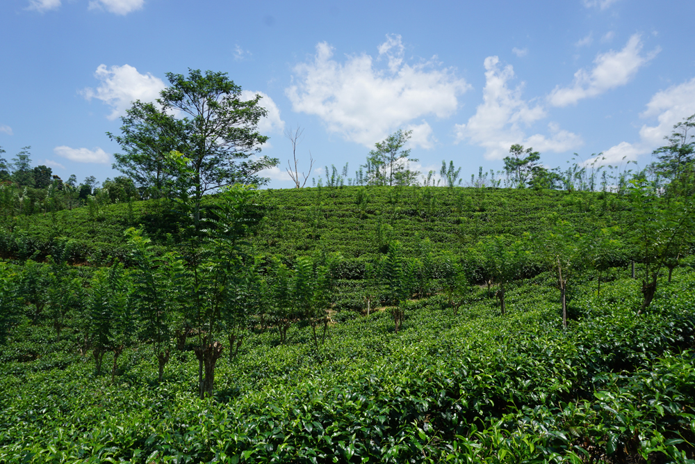 Tea plantation land