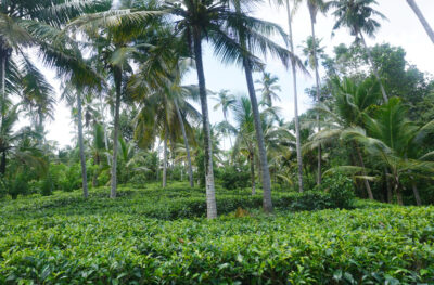 1 Acre tea plantation land for sale in Galle sri alanka