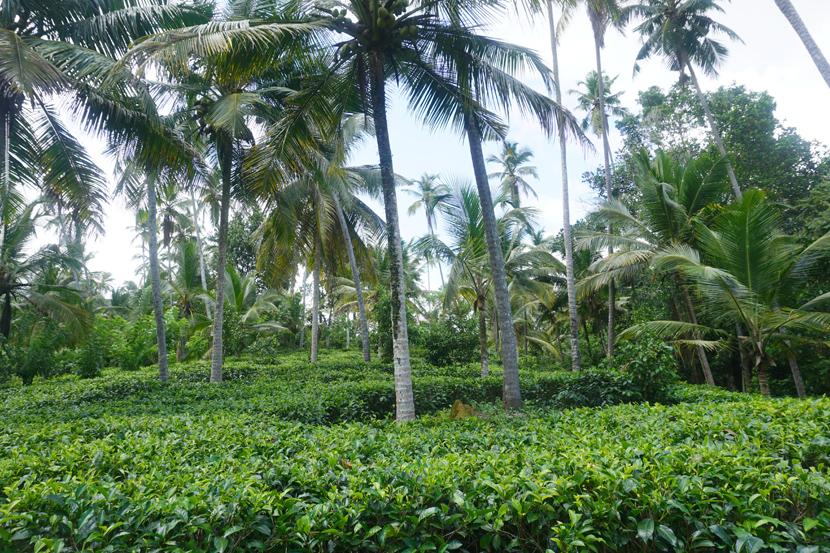 1 Acre tea plantation land
