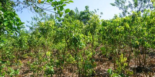 Welhengoda cinnamon plantation land